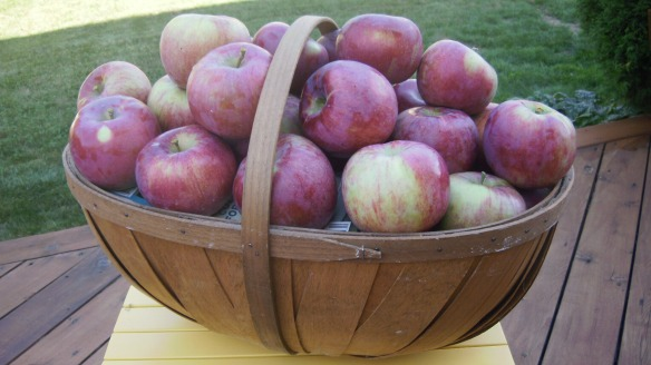 cortland apples picked at Watson's Farm in an apple basket