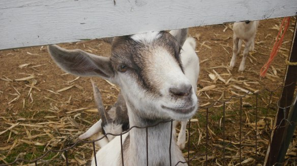 a goat at Watson's Apple Farm