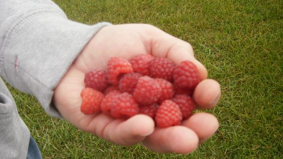 handful of raspberries just picked at Watson's Apple Farm