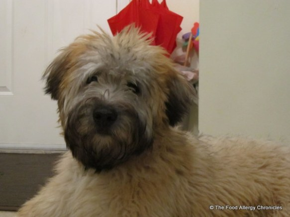 Brian, Soft Coated Wheaten Terrier