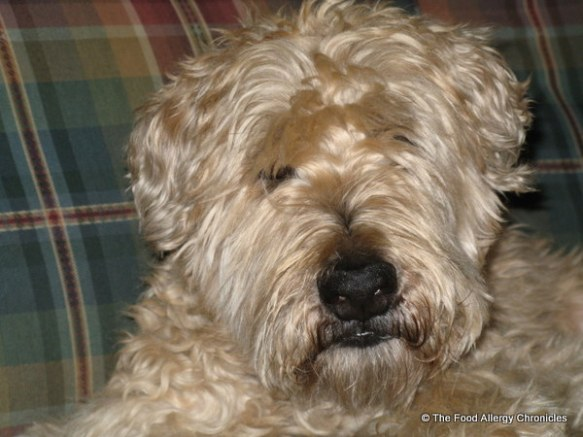 chester, a soft coated wheaten terrier, our first dog