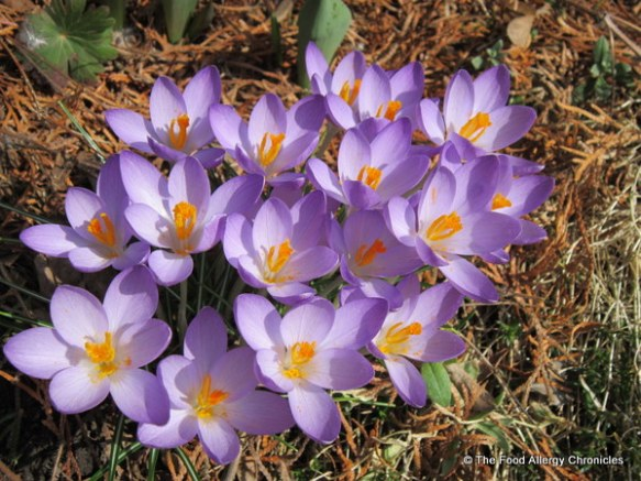 spring crocuses blooming