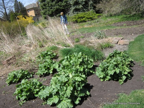 Fresh rhubarb growing in the garden