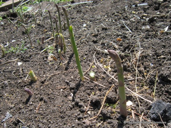 Asparagus ready to pick in the garden