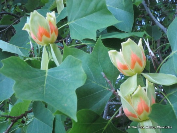 Flowers on a Tulip Tree