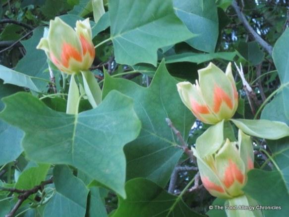 Flowers on a Tulip Tree