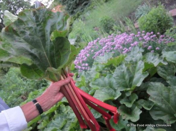 Rhubarb freshly picked