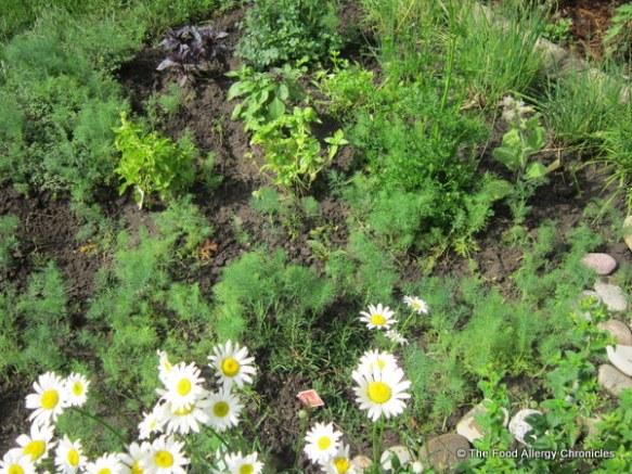 Our herb garden, 2012
