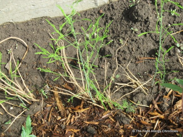 First asparagus growing from the 'crown' roots (just planted this spring 2012)