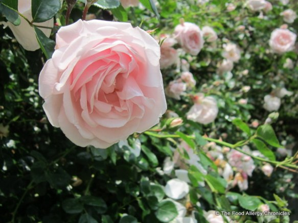 My climbing rose bush in my neighbours garden, 2012