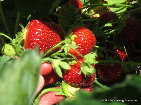 Strawberries at Watson's Farms, 2012
