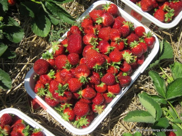 Strawberries picked at Watson's Farms