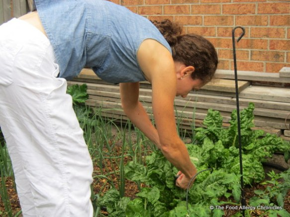 Picking Swiss Chard in the back garden, 2012