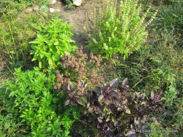 Herbs growing in my garden