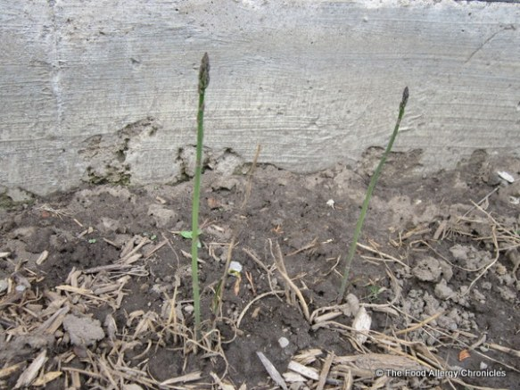 Asparagus growing in my vegetable garden