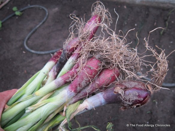Red onions from last years vegetable garden