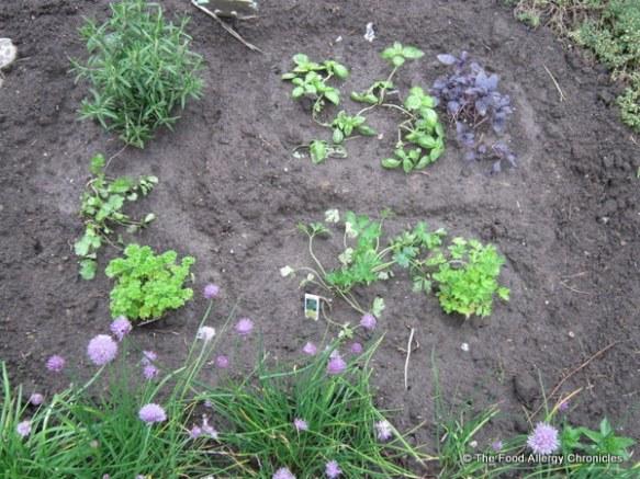 Our fresh herb garden