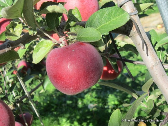 An Empire Apple at Watson's Farm perfect for picking